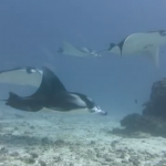 马尔代夫四季·库达呼拉岛(小四季) Four Seasons Kuda Huraa潜水视频(1)